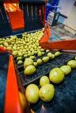 排序的土豆,处理和包装工厂 库存照片