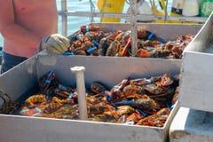 排序通过新鲜的龙虾抓住的龙虾人 库存图片