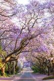排行在南非的盖帽的开花的兰花楹属植物树街道 库存照片