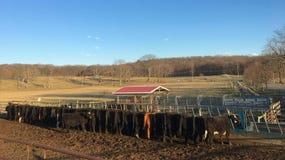 排队在农场的母牛在纽约 免版税图库摄影