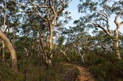 排队在澳大利亚灌木的玉树一串足迹 免版税库存照片