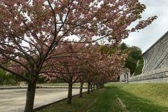 排队在Kensico的樱花树在纽约抑制广场 图库摄影