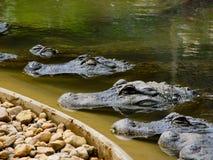排队的鳄鱼 免版税库存图片