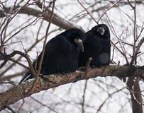 掠夺和乌鸦在brach 库存照片