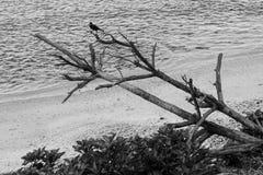 掠夺在一棵干燥下落的树的分支 库存照片