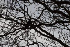 掠夺在光秃的树的乌鸦寒鸦 库存照片