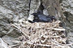 掠夺小鸡在巢在岩石坐岩石山坡 库存图片