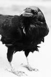 黑掠夺鸟关闭 免版税库存图片