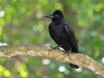 掠夺,与黑羽毛的一只大鸟,并且强的棕色额嘴坐一棵厚实的分支树反对叶子背景, bri 库存图片