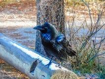 掠夺,贾斯珀国家公园,亚伯大,加拿大 库存图片