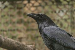 掠夺黑鸟在春天好天儿 免版税库存图片
