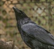 掠夺黑鸟在春天好天儿 图库摄影