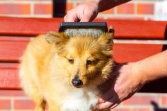 掠过修饰在设德蓝群岛牧羊犬 免版税库存图片