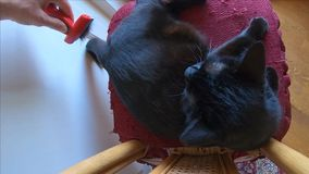 掠过的恼怒的猫 股票视频
