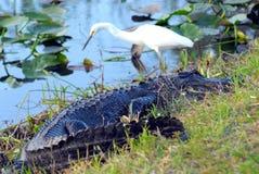 掠食性动物和牺牲者、鳄鱼和白鹭 免版税图库摄影