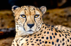 掠食性动物的眼睛 免版税库存图片