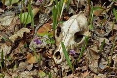 掠食性动物的老头骨 免版税库存照片