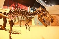 掠食性动物的骨头 免版税库存图片