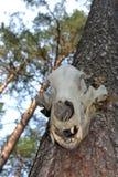 掠食性动物的头骨 免版税库存照片