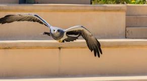 掠食性动物飞行  免版税库存照片
