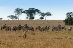 掠食性动物&牺牲者,塞伦盖蒂国家公园 免版税库存照片
