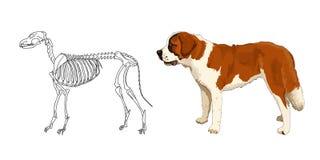 掠食性哺乳动物的骨骼 圣伯纳德 狗解剖特点  向量 免版税库存图片