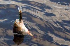 掠食性的鱼 免版税库存照片