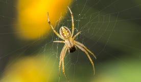 掠食性蜘蛛 库存图片