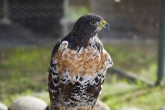 掠食性鸟在桌山国家公园在开普敦 图库摄影