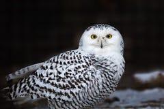 掠食性鸟斯诺伊猫头鹰-腹股沟淋巴肿块 库存照片