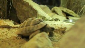 探索他们的周围的两三只草龟 股票录像