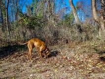 探索在森林里的狗在冬天期间 免版税库存照片