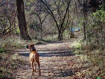 探索在森林里的狗在冬天期间 库存图片