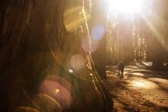 探索的美国加州红杉公园 免版税库存图片