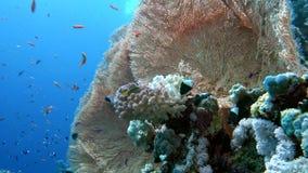 探索一块五颜六色的礁石,红海,埃及的观点的潜水者 股票录像