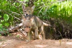 探索外部小室的土狼小狗 免版税库存图片