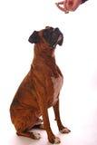 接受奖励的狗 免版税图库摄影