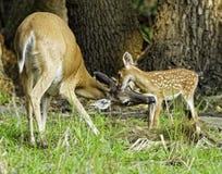接合母鹿小鹿 免版税库存照片