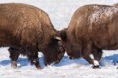 接界在雪的北美野牛公牛头 库存照片