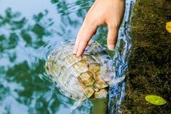 接触一只草龟 库存照片