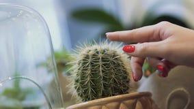 接触仙人掌的女性手 抚摸罐仙人掌针的女性手指 关闭 股票视频