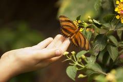 接触在花的儿童手一只橡木老虎蝴蝶 免版税库存图片