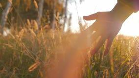 接触感人的草,麦子,在领域的玉米农业的女性农夫手反对美好的日落 steadicam 股票视频
