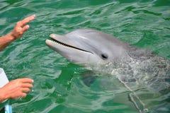 接触海豚的人的手 免版税库存照片