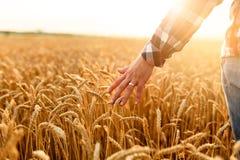 接触他的庄稼用在一块金黄麦田的手的农夫 收获,有机耕田概念 免版税图库摄影