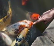 接触Koi金鱼嘴的手指 免版税图库摄影