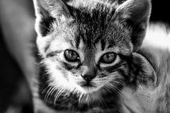 接近一只逗人喜爱的小猫的画象在黑白 库存图片