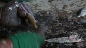 接近人清洗的鱼 股票视频
