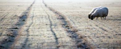 接近冷淡的轨道的绵羊 免版税库存照片