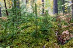 接近奥斯陆的挪威;由更小的杉木的小杉木周围,在森林里研的青苔 图库摄影